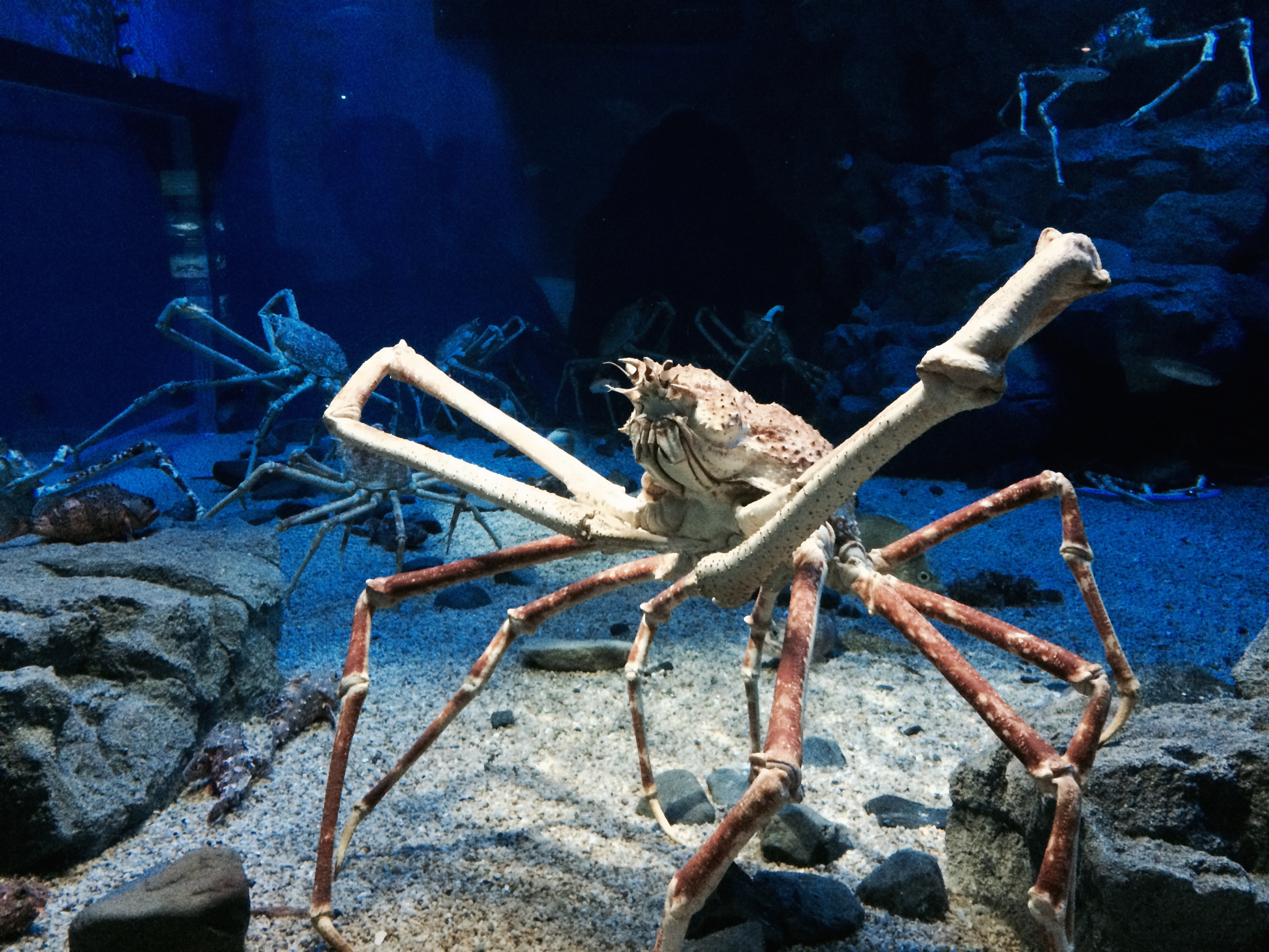 worlds largest crustacean giant spider crab essay The japanese spider crab is a gigantic marine crab and one of the world's largest arthropods, holding the record for largest leg span these gigantic crustaceans are not active hunters, but instead crawl along and pick slow moving organisms or any dead and decaying matter along the ocean floor.